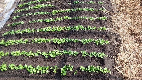 種まき16日目  ピラミッド堆肥側